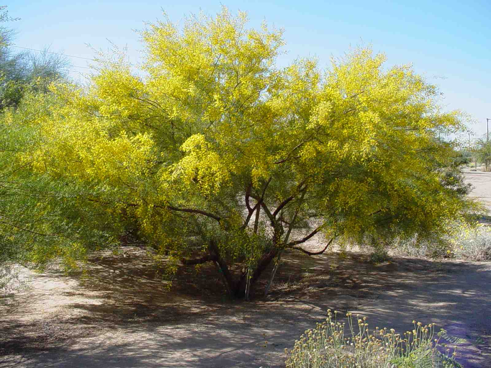 Acacia Trachycarpa Sweet Scented Minnieritchie Is An Arid To Tropical Australian Tree Ideal For Planting In Frost Free Regions