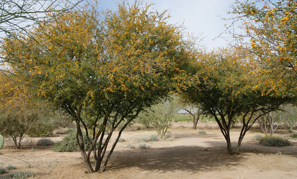 Acacia Smalliiarid Zone Trees